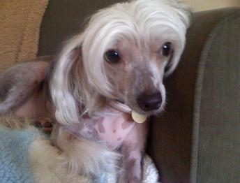 Chinese Hairless Crested Dog Boarding Miami