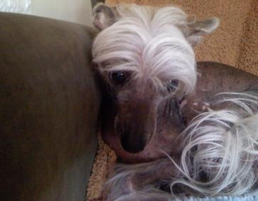 Chinese Hairless Crested Pet Sitter Miami